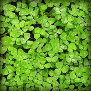 1st Mar 2018 - GREEN shamrocks