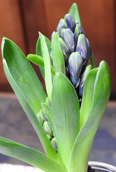 Hyacinth by homeschoolmom