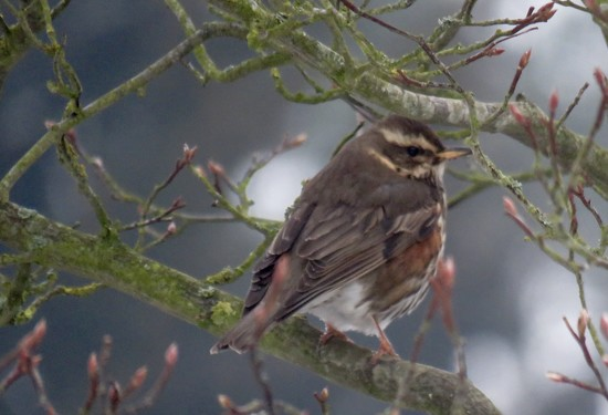Redwing by phil_sandford