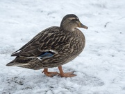 3rd Mar 2018 - Duck in the Snow