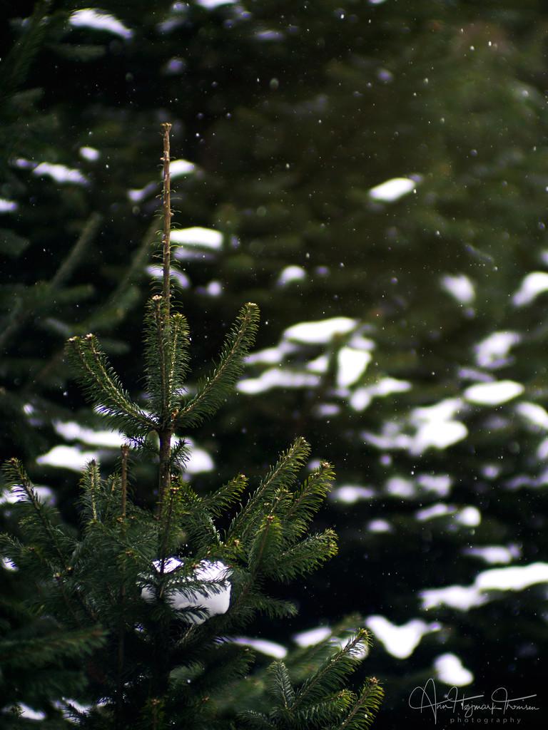 The little fir tree… by atchoo
