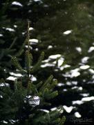 3rd Mar 2018 - The little fir tree…