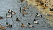 4th Mar 2018 - ducks