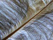 4th Mar 2018 - Macro Feather