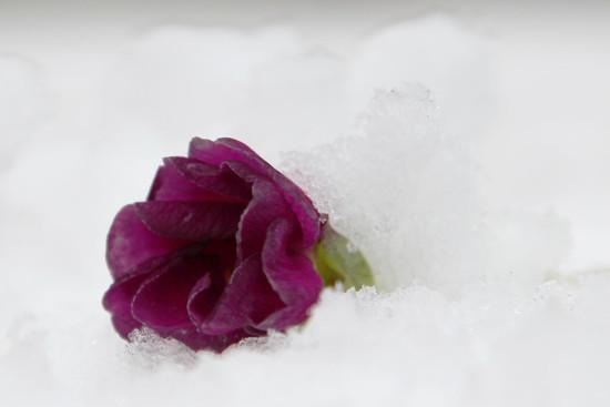 Definition of purple by cherrymartina