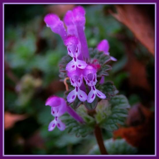 Henbit is Violet by milaniet