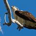 Osprey on It's Favorite Limb! by rickster549