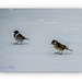 Reed Bunting In The Snow