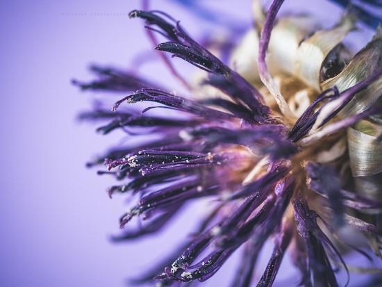 purple haze by pistache