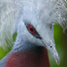 Southern Crowned Pigeon by hrs