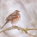 Redwing by markyl