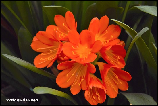 Clivia by rosiekind