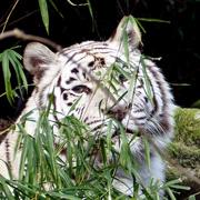 6th Mar 2018 - White tiger