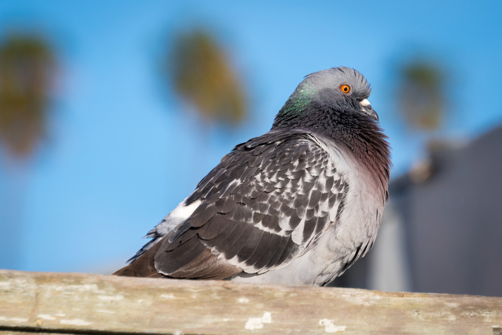Well Fed Pigeon by stray_shooter