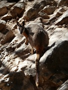 7th Mar 2018 - Yellow footed rock wallaby