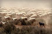 5th Mar 2018 -  Kelpie and sheep