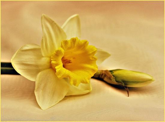 Golden Daffodil. by wendyfrost