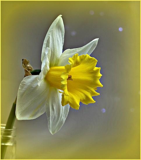 Daffodil by wendyfrost