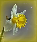 8th Mar 2018 - Daffodil