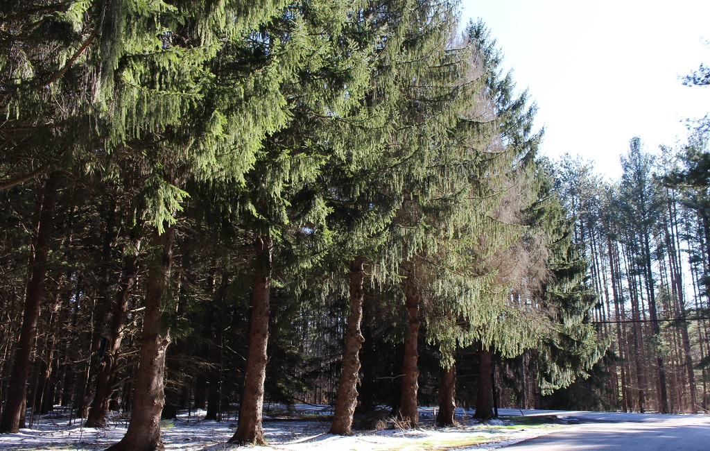 Pine trees in a row by mittens