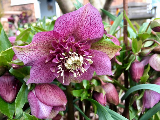 Hellebore by 365projectmaxine