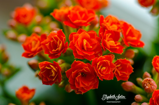 Kalanchoe by elisasaeter