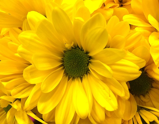 YELLOW flower by homeschoolmom