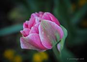 6th Mar 2018 - Double Tulip