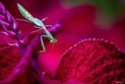 8th Mar 2018 - Preying Mantis