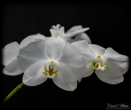 Orchids (best viewed on black) by carolmw