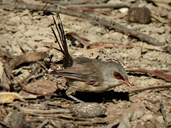Female Variegated Wren by judithdeacon