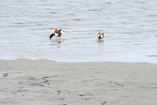 Shelduck by lifeat60degrees