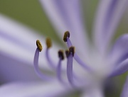 4th Jan 2011 - agapanthus stamens