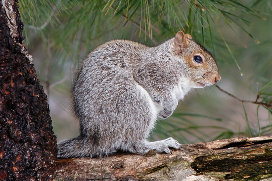 Yard Squirrel by batfish