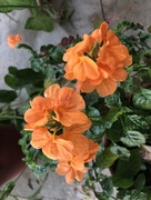 7th Mar 2018 - Pretty orange flowers
