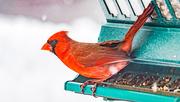 8th Mar 2018 - cardinal