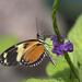 Tigerwing by gaylewood