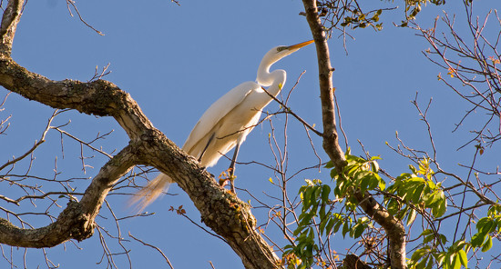 Egret Still Searching for the Right Twig! by rickster549