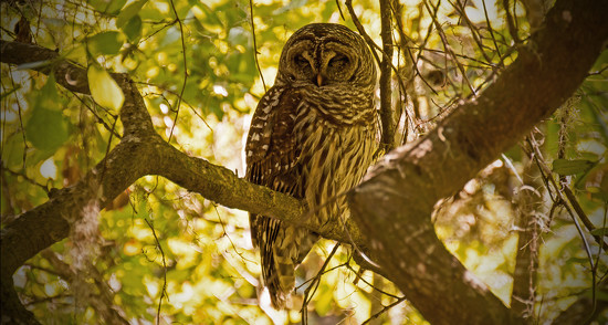 The Barred Owl is Back! by rickster549