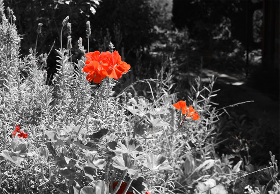 selective  colour-red geraniums  by fr1da