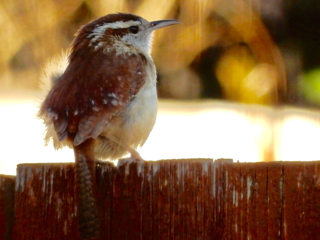 Sweet little Wren came by for a visit.  by louannwarren