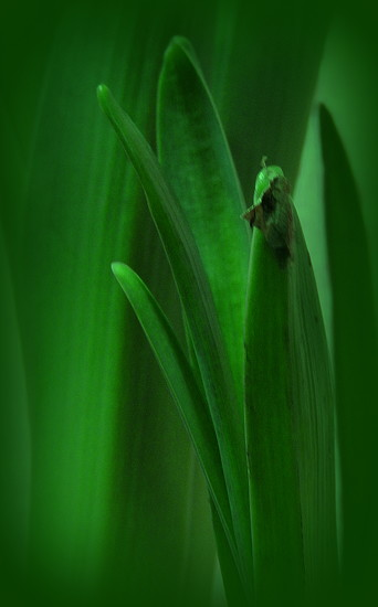 GREEN hyacinth leaves by homeschoolmom