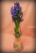 8th Mar 2018 - Hydroponic hyacinth