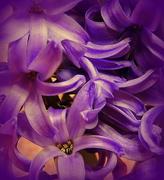 10th Mar 2018 - PURPLE hyacinth