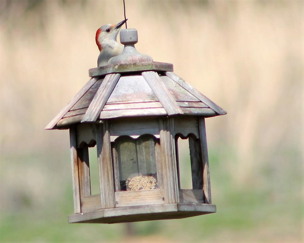 Woodpecker Hide And Seek by cjwhite