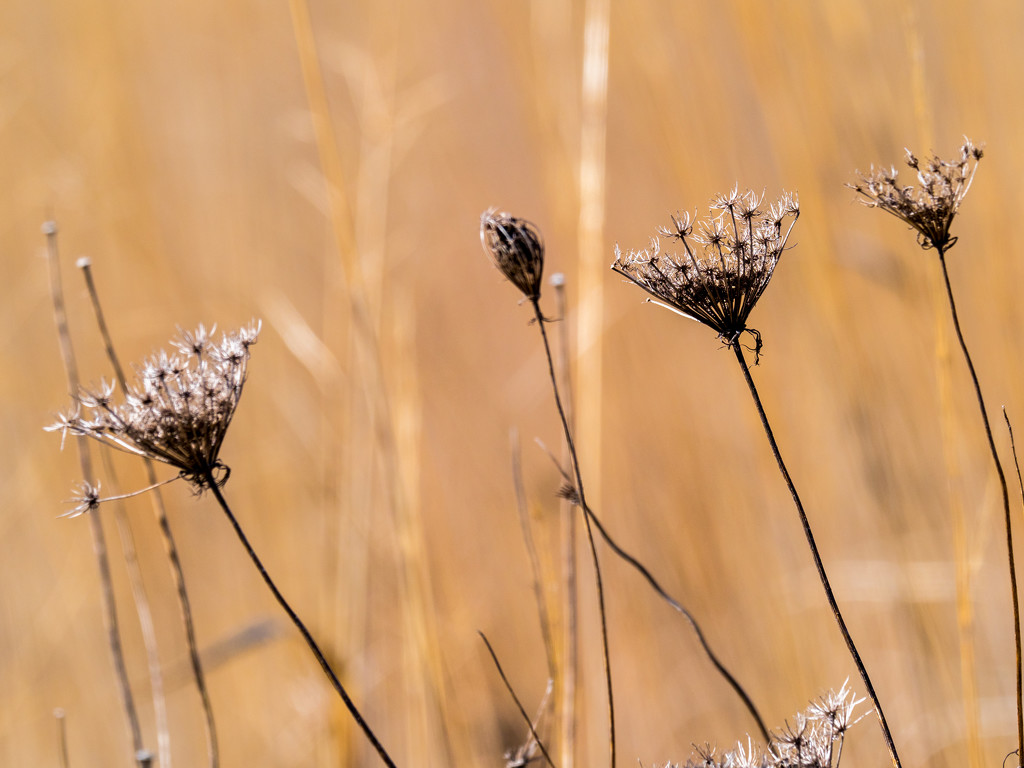 Winter Lace on a golden prairie by rminer