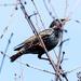 Starling Profile