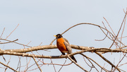 9th Mar 2018 - American Robin on a branch