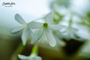 9th Mar 2018 - Little white flower