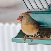 9th Mar 2018 - lady cardinal